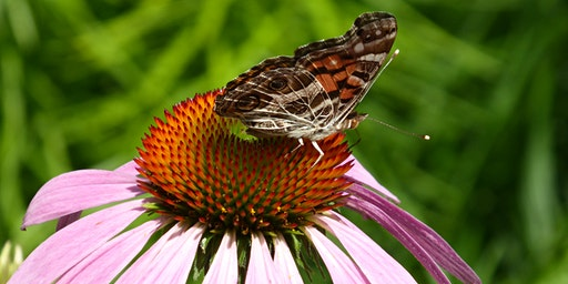 Pollinator Friendly Yards- Plant Native!