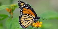 Annual Butterfly Release