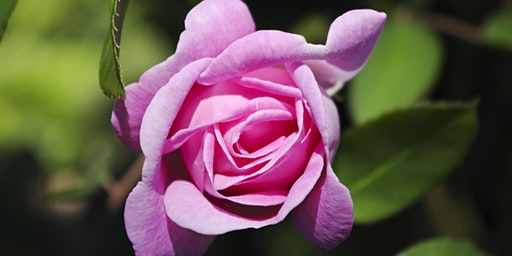 Talk: A History of the Rose, with Cultivation and Selection