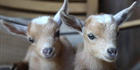 EARLY SESSION* Mom's Day Baby Goat Yoga in the Beer Garden tickets
