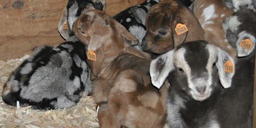 Baby Goat Brunch 2