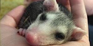 Opossum Orphan Care Class