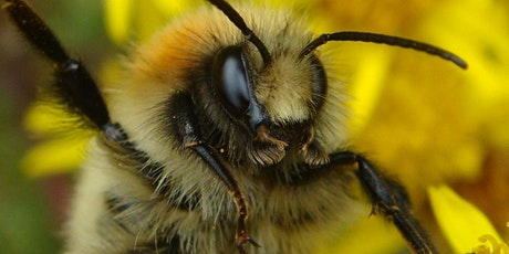 A Beginner's Guide to Bumblebee Identification tickets