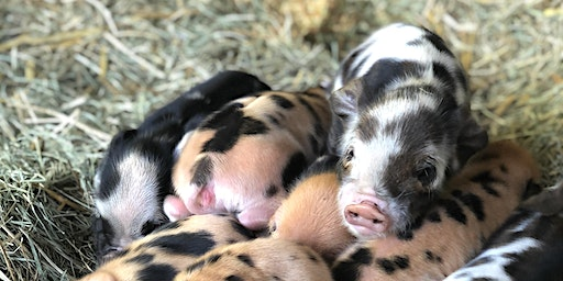 Orion Farms Yoga with Kunekune Piglets