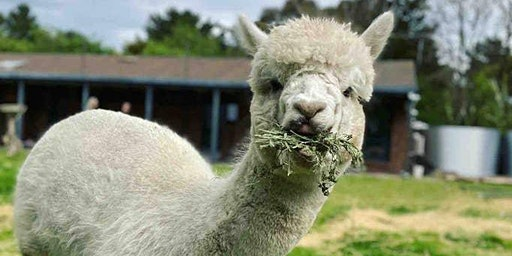 Feed Alpacas, Sheep, Chooks and More!