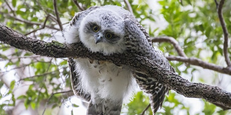 BirdLife Australia; Owl workshop & training tickets