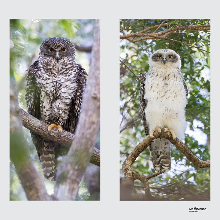 BirdLife Australia; Owl workshop & training - Gold Coast image