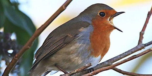 Discover the Dawn Chorus at RSPB Swell Wood