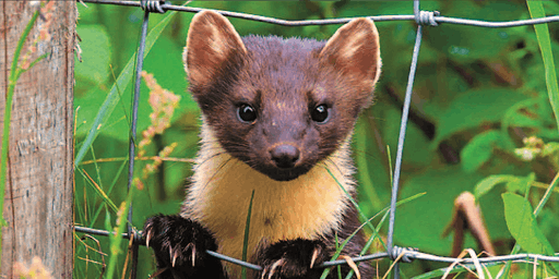 Living with pine martens symposium
