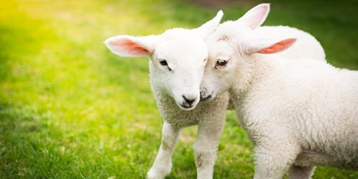 Fleecy Frolics Lambing Saturday Event 2020
