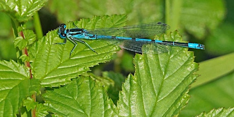 Dragonfly Identification for Beginners/Intermediate tickets