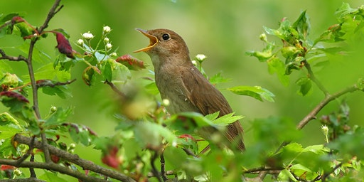 Listening to Nightingales at RSPB Highnam Wood