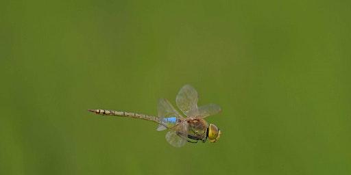Dragonflies at Lackford Lakes (DZC 2986)
