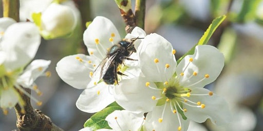 Amazing Mason Bees (and other Pollinator's , too)