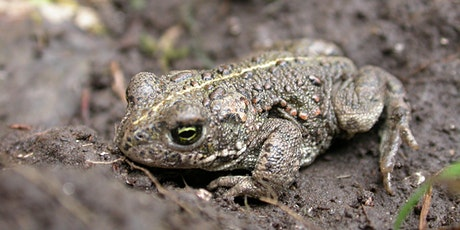 Introduction to natterjack toads tickets
