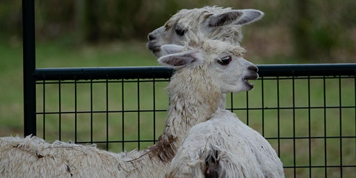 Yoga with Llamas and Wine (Yes!  It's a Thing!)