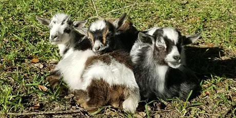 Baby Goat Yoga - Sat, April 11th @ 10:30 AM tickets