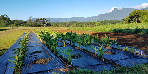 Kauai Turmeric Field Day