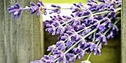 Horticulture for Adults: Story of Lavender