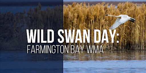 Wild Swan Day: Farmington Bay WMA