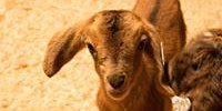 Baby Goat Away March 14th-15th