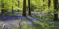 Coleford Area Walking Festival 14: Wenchford Bluebells