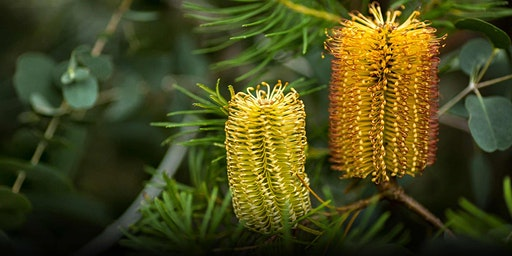 Big Shot Banksias