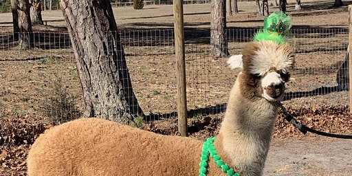 Let the Shenanigans Begin! Celebrate  St Patty's Day weekend w/ the alpacas
