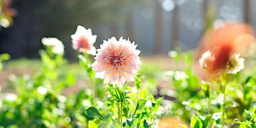 Forever Bloom Farm - Growing Dahlias Workshop – Pescadero, CA – 6/6/20