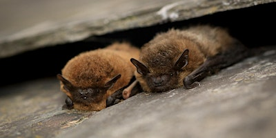 Nature Course: British Bats - An Introduction