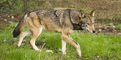Taxonomic Studies of the Red Wolf: Webinar with Dr. Molly Schumer tickets