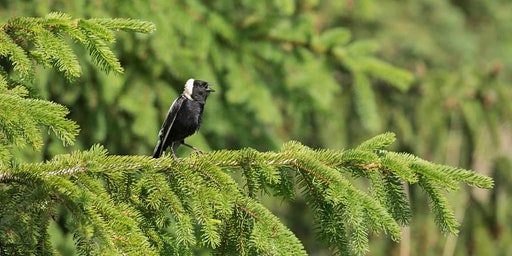 Birdwatching at Fauna / Observation d'oiseaux chez Fauna