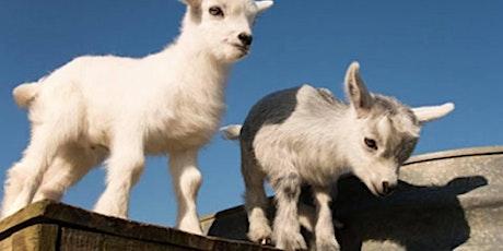 Pygmy Goats & Brews - AYCE Crawfish tickets