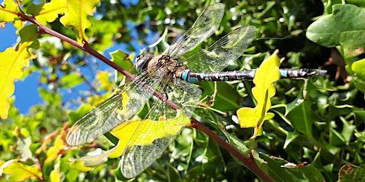 Heathland Dragonflies
