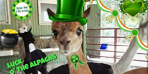 St. Patrick's Celebration at Creekwater Alpaca Farm