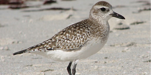 Guided Shorebird Walk