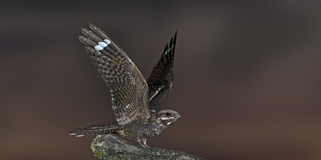 Nightjar Encounters at Ockham Common tickets