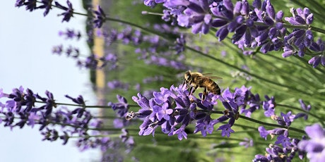 Lavender 101 - Growing Lavender in Your Garden tickets