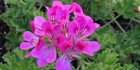 Taste of the Garden - Scented Pelargoniums (Scented Geraniums) tickets