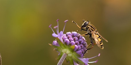 Introduction to hoverflies tickets
