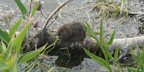 Water Voles - Ecology and Survey 2021 tickets