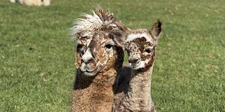Introduction to Alpacas - Conformation, Fibre & Breeding tickets